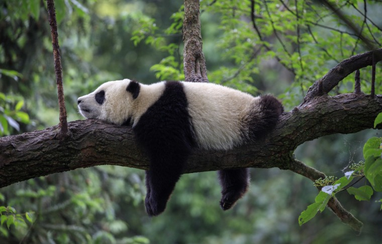 Panda hanging off from tree branch