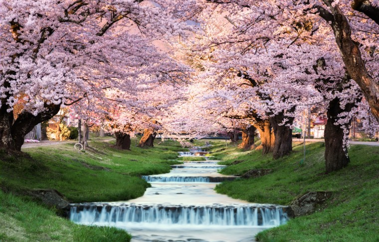 Cherry Blossoms Fukushima Japan