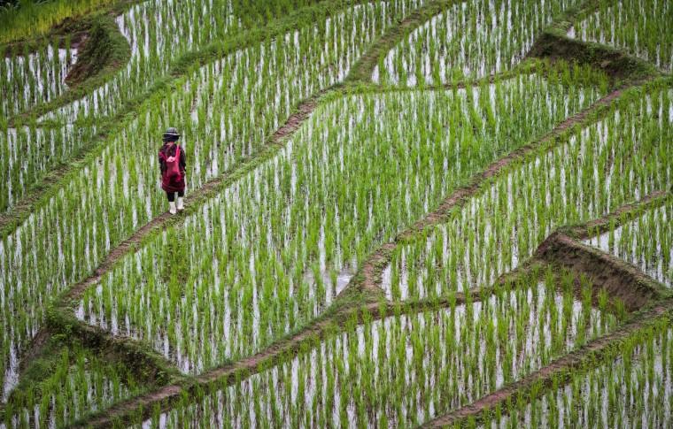 Chiang Mai rice farmer