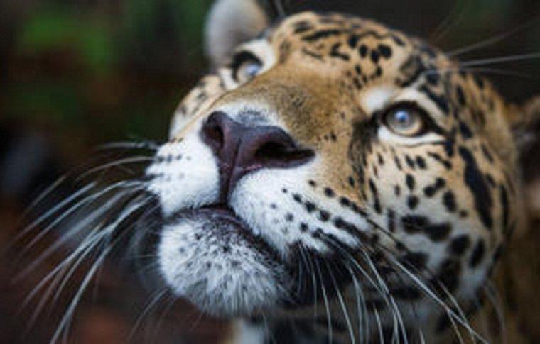 cheetah's face