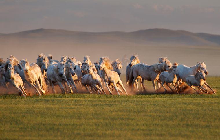 wild mongolian horses running through the grasslands